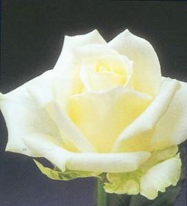 rosa_biancab0000