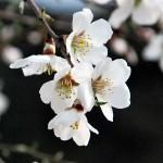La flor del Almendro 03