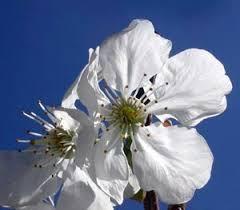 flor cicerer